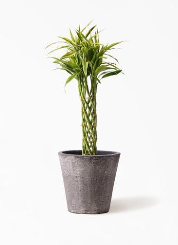 観葉植物 ドラセナ ミリオンバンブー(幸運の竹) 7号 フォリオソリッド ブラックウォッシュ 付き