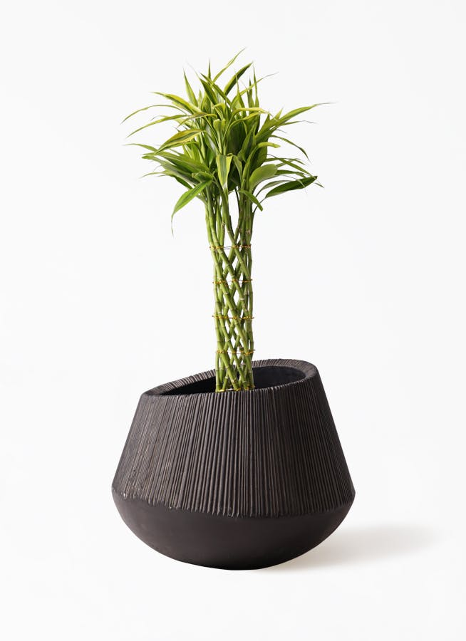 観葉植物 ドラセナ ミリオンバンブー(幸運の竹) 7号 エディラウンド 黒 付き