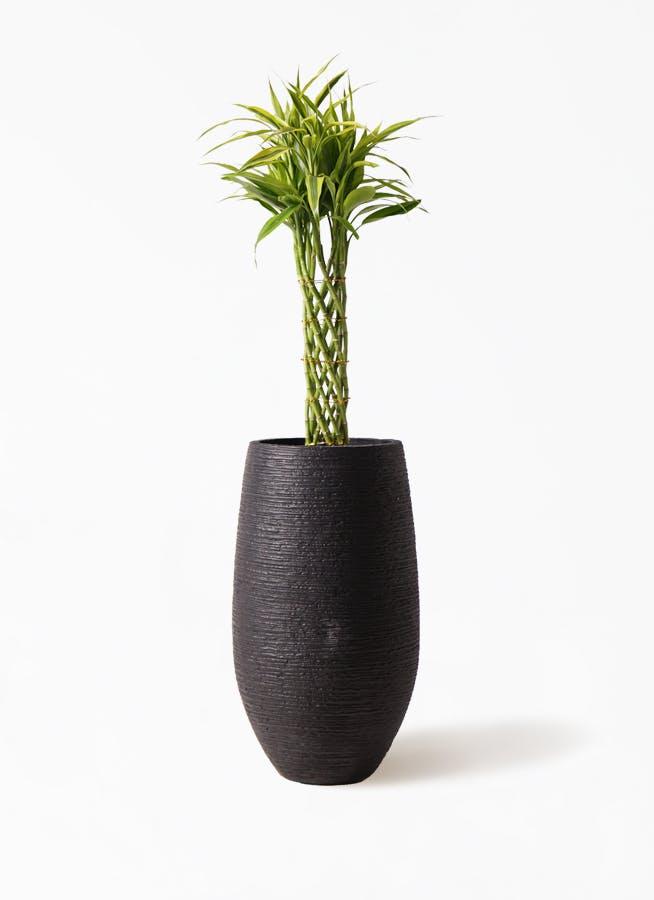 観葉植物 ドラセナ ミリオンバンブー(幸運の竹) 7号 フォンティーヌトール 黒 付き