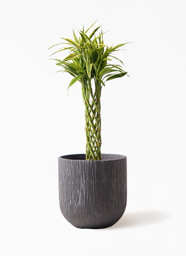 観葉植物 ドラセナ ミリオンバンブー(幸運の竹) 7号 カルディナダークグレイ 付き