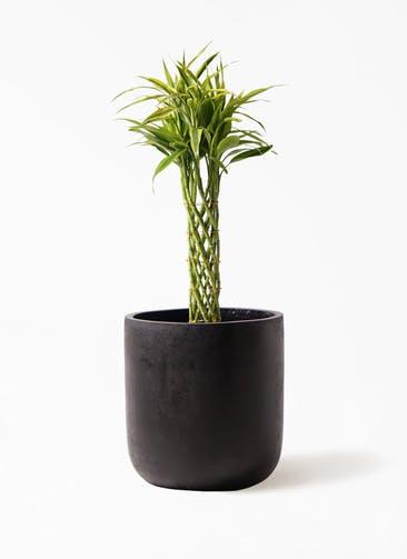 観葉植物 ドラセナ ミリオンバンブー(幸運の竹) 7号 エルバ 黒 付き