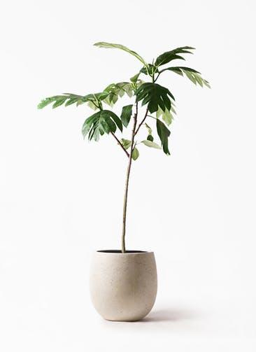 観葉植物 パンノキ 8号 テラニアス バルーン アンティークホワイト 付き