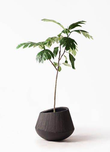 観葉植物 パンノキ 8号 エディラウンド 黒 付き