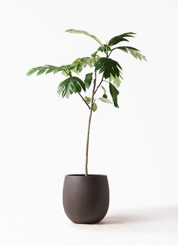 観葉植物 パンノキ 8号 テラニアス バルーン アンティークブラウン 付き