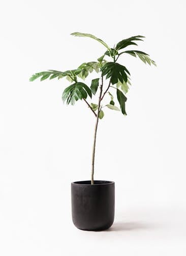 観葉植物 パンノキ 8号 エルバ 黒 付き