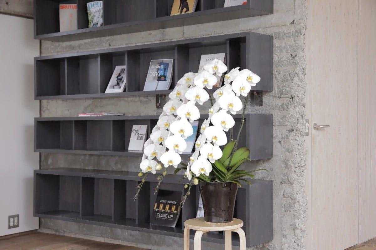 胡蝶蘭お祝い - お花と植物のギフト通販 HitoHana(ひとはな)