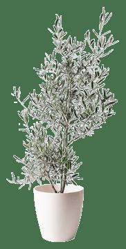 オリーブの木 コラティーナ (コラチナ)