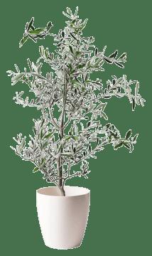 オリーブの木 コレッジョラ