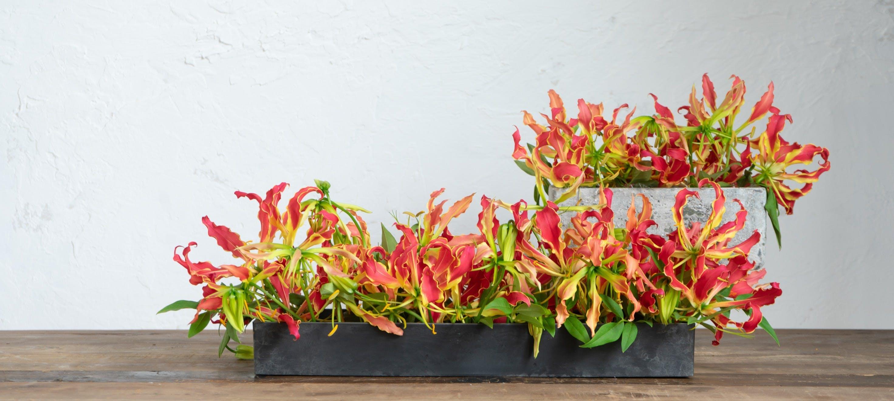 グロリオサ - お花と植物のギフト通販 HitoHana(ひとはな)