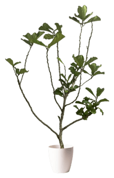 珍しい観葉植物 1点もの