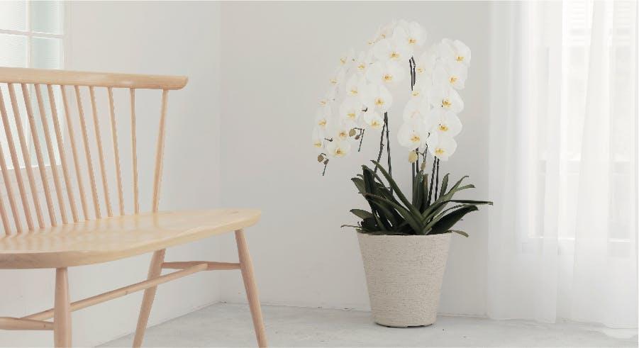 胡蝶蘭大輪 ランキング - お花と植物のギフト通販 HitoHana(ひとはな)