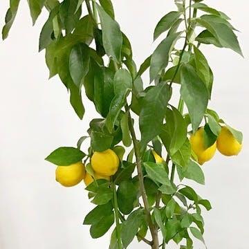 果樹 ギャラリー写真
