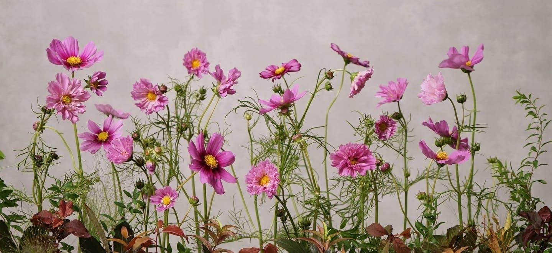 コスモス - お花と植物のギフト通販 HitoHana(ひとはな)