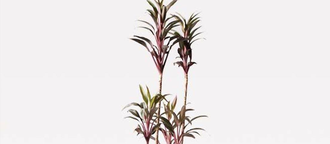 コルディリネ (コルジリネ) ターミナリス - お花と植物のギフト通販 HitoHana(ひとはな)
