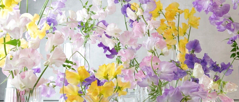 スイートピー - お花と植物のギフト通販 HitoHana(ひとはな)