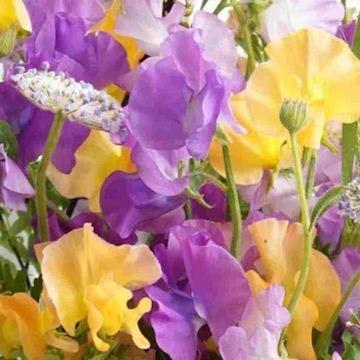 スイートピー 花束 パープル