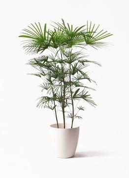 ウンナンシュロチク(雲南棕櫚竹)