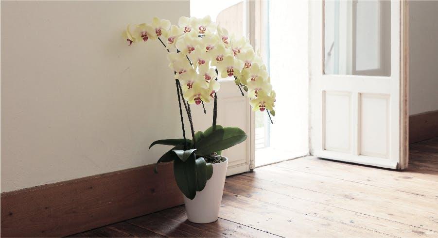 胡蝶蘭中大輪 ランキング - お花と植物のギフト通販 HitoHana(ひとはな)