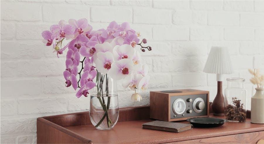 ミディ胡蝶蘭 ランキング - お花と植物のギフト通販 HitoHana(ひとはな)
