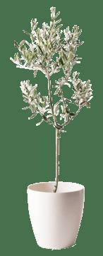 オリーブの木 カラマタ