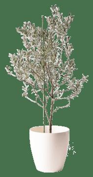オリーブの木 カリフォルニアクイーン