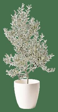 オリーブの木 アルベキーナ