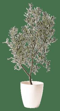 オリーブの木 デルモロッコ