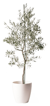 オリーブの木 バルネア