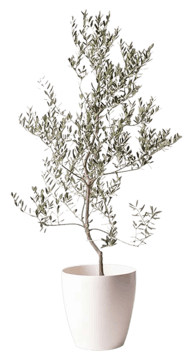 オリーブの木 レッチーノ
