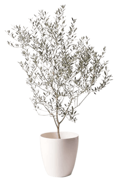 オリーブの木 カヨンヌ
