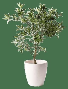 柚子 (ゆず)の木