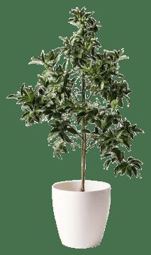 かぼすの木